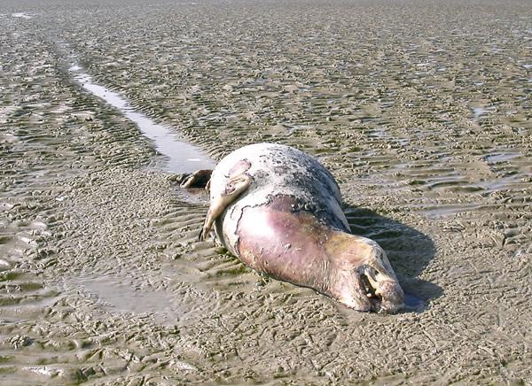 Toter Seehund