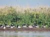 Nil- u. Kanadagans,Nonnengaense Hatzumersand, Foto (C): Voß