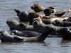 Seehunde Unterems, Foto (C): Voß
