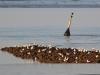 Sturm-und Lachmöwen auf Buhne, Foto (C): Voß