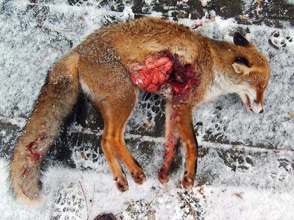 Erlegter Fuchs