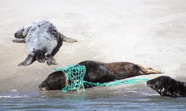 Kegelrobbe im Netzrest eines Fischereifahrzeugs