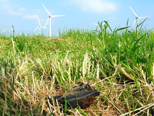 Eine von tausenden: Windkraftopfer Fledermaus, Windpark Utgast/Gem. Holtgast/LK Wittmund/NDS