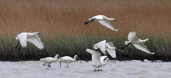 Streng geschütze und sehr störempfindliche Löffler, erst seit einigen Jahren wieder heimisch im niedersächsischen Wattenmeer