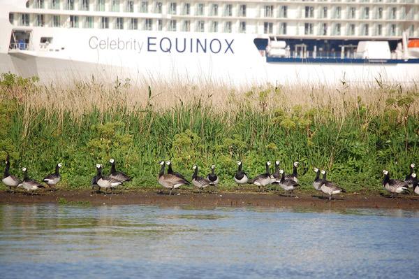 """Überführung der """"Celebrity Equinox"""" 2009. Abgesoffene EU-Vogelschutzgebiete mit Totalverlust der Gelege. Foto (C): Eilert Voß"""