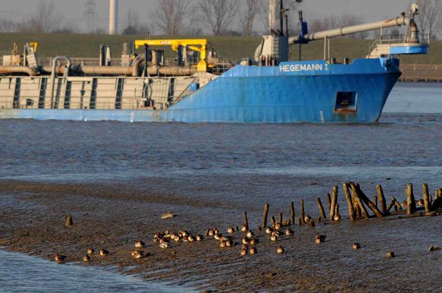 """Baggerschiff """"Hegemann I"""" auf der Ems, im Vordergrund Pfeifenten, 18. Februar 2015, Foto (C): Eilert Voß"""