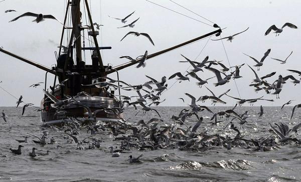Krabbenkutter: Möwen stürezne sich auf den Beifang, der tot oder verletzt über Bord ging, Foto (C): Eilert Voß