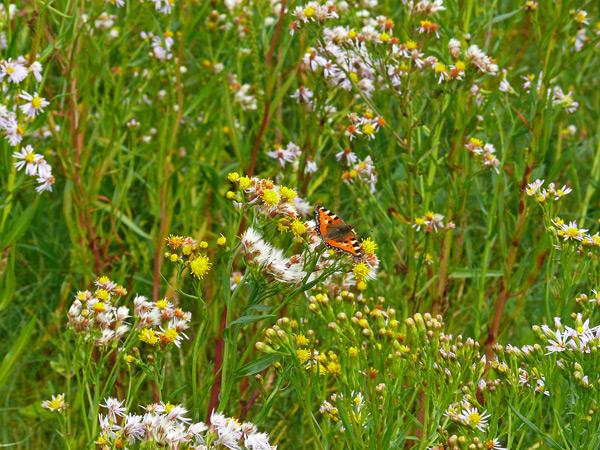 Artenreiche Salzwiese, Foto (C): Manfred Knake
