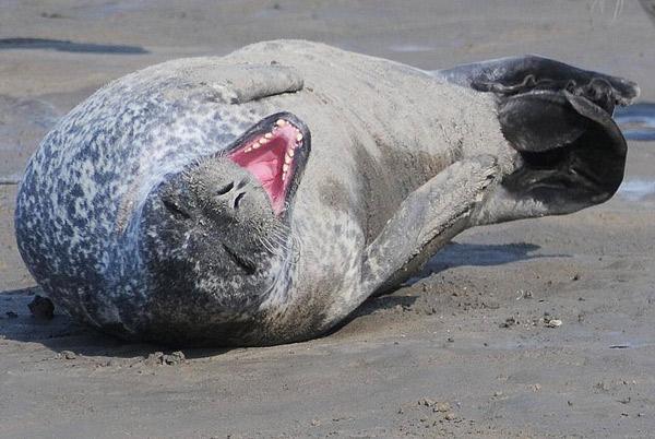 Seehund im Dolllart, Nationalpark Niedersächsisches Wattenmeer, Foto (C): Eilert Voß