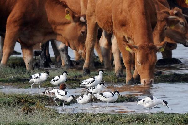 Rinder und Säbelschnäbler. Foto (C): Eilert Voß