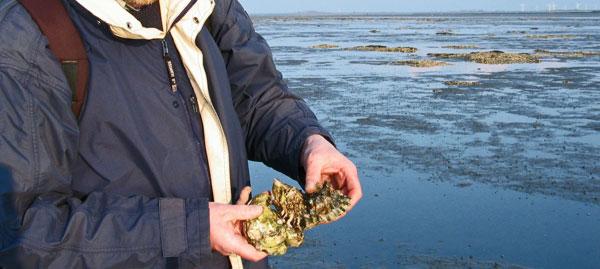 Pazifische Auster, hier bei Dornumersiel, LK Aurich, Foto (C): Manfred Knake