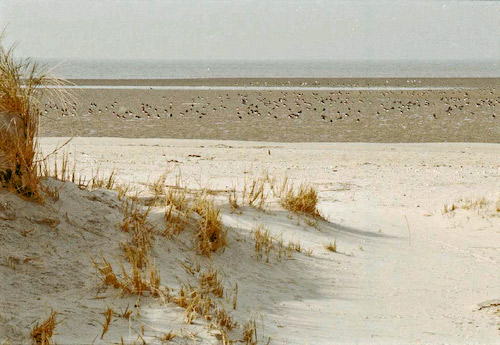 Vogelinsel Memmert: Austernfischer am ungestörten Strand, Foto (C): Manfred Knake