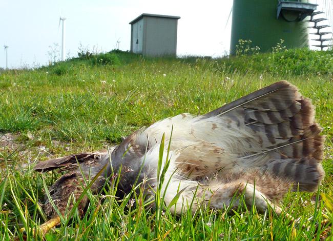 Winpark Utgast/Holtgast/LK Wittmund/NDS: toter Mäusebussard (Brutzeit). Der Windpark steht direkt an einem EU-Vogleschutzgebiet. Foto (C): Manfred Knake