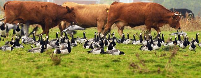 Freidliche Koexistenz von Rindern und Nonnengänsen, Foto (C): Eilert Voß