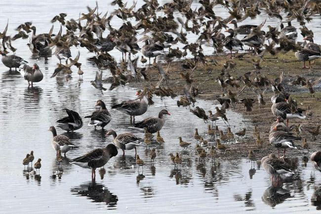 Auch in milden Winter ist das Wattenmeer RAst- und NAhrungsgebiet für Gänse und Watvögel, Foto (C): Eilert Voß