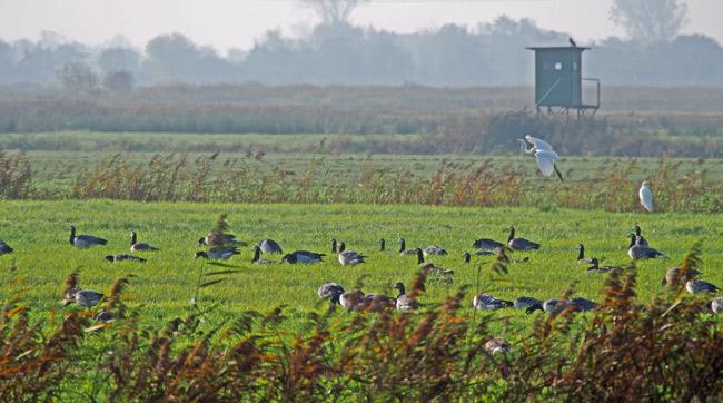 Rastende Bläss- und Nonnengänse soweie Silberreiher südlich von Bensersiel im Vogelschutzgebiet Foto (C) Manfred Knake