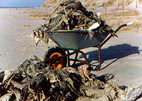 Eiderentenkadaver, verhungert im Watt, 2002, Insel Memmert, Foto (C): Reiner Schopf