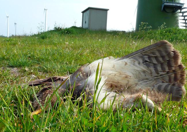 Von Winkraftanlage erschlagener Mäusebussard, Windpark Utgast/LK Wittmund/NDS unmittelabra an einem EU-Vogelschutzgebiet, Foto (C): Manfred Knake
