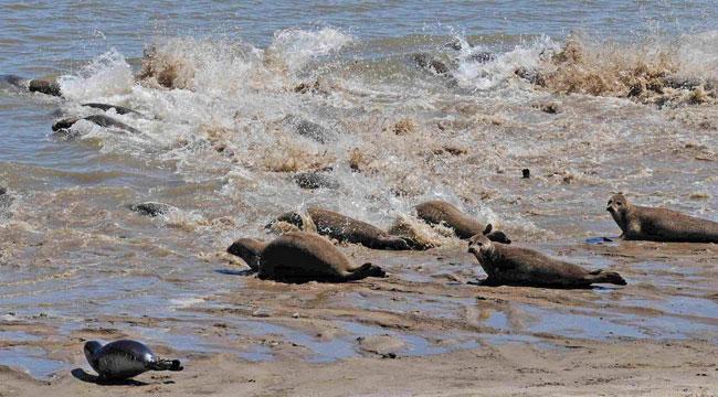 Panikflucht von Seehunden (mit einem starken teleobjektiv fotorgrafiert, der Fotograf ist nicht der Verursacher), Foto (C): Eilert Voß