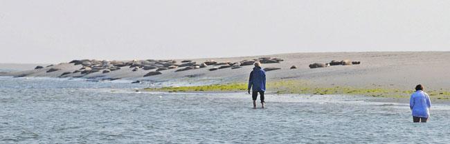 Wattwanderer an einer Seehundsbank,: viel zu dicht, im nächsten Moment fliehen die Seehunde. Fot (C). Eilert Voß