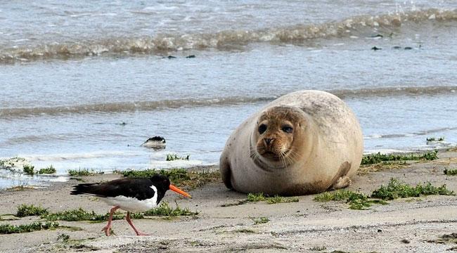 Ungestörter Austernfischer und Seehund im Dollart, Foto (C): Eilert Voß