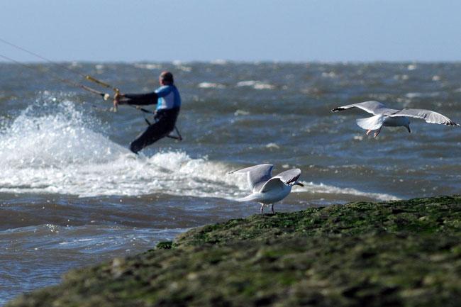 """""""Dickfellige"""" Silbermöwen haben keine Probleme mit Kitesurfern, Foto (C): Eilert Voß/Wattenrat"""