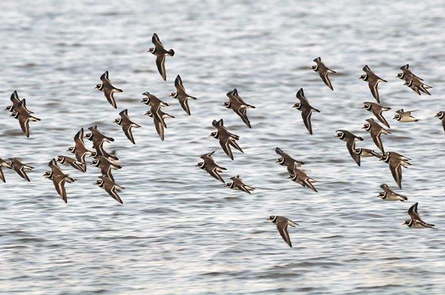 Sandregenpfeifer auf dem Zuge, als Brutvogel im NAtionalpark Niedersächsisches Wattenmeer durch den Massentourismus extrem gefährdet, Foto (C): Eilert Voß/Wattenrat