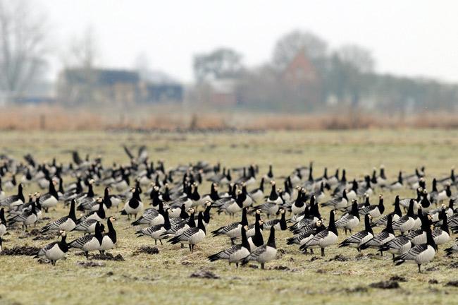 Nonnengänse auf Grünland im Februar, Ditzumer Hammrich, Foto (C): Eilert Voß