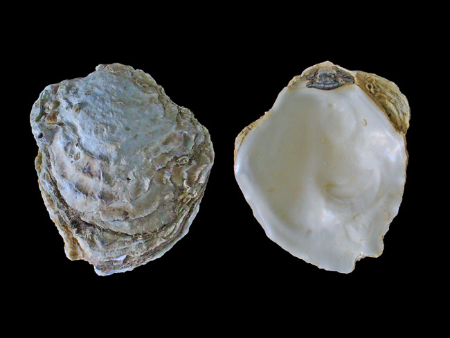 Europäische Auster - Foto: H. Zell, Wikipedia, CC BY - SA 3.0
