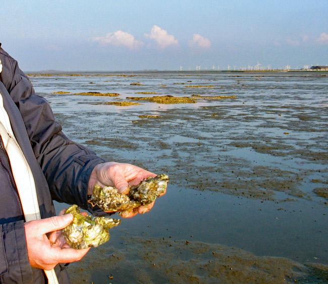 Pazifische Austern im Watt vor Dornumersiel/LK Aurich, Foto (C): Manfred Knake